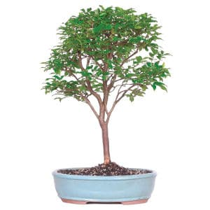Large-Bonsai