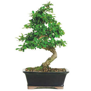 Medium-Bonsai