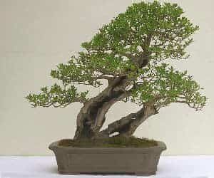 Twin-Trunk-bonsai