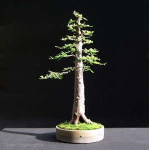 Upright-form-bonsai