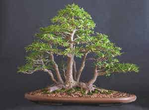 multiple-trunk-bonsai