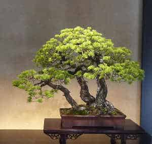 tripple-trunk-bonsai