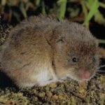 How to Get Rid of Voles in the Garden [7 Natural Ways]