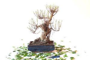 defoliation-bonsai