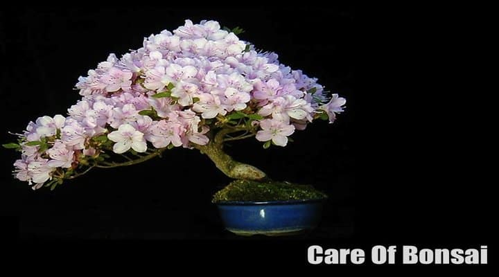 Care of Bonsai and Different Types of Bonsai-Don't Miss The Guide