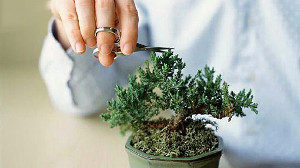 pinching-bonsai