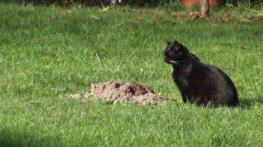 vole hunting cat