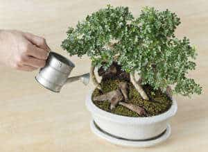 watering-bonsai