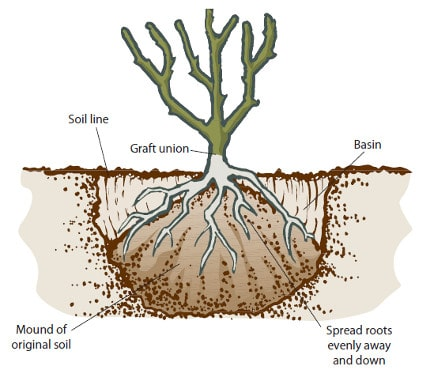 how to plant bare root apple tree