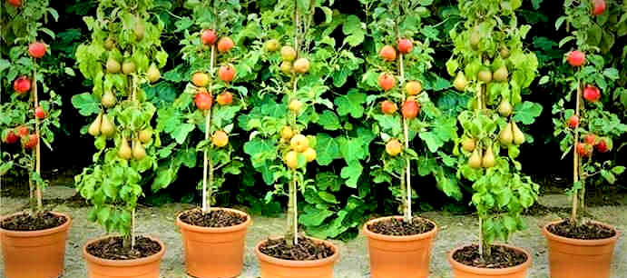 potted apple tree